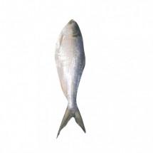 Fresh HILSA Bangladesh   above 1kg  - বাংলাদেশি ইলিশ