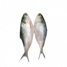 Fresh JORA HILSA Bangladesh   above 1kg  - জোড়া বাংলাদেশি ইলিশ