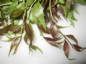 Organic Neem leaves -নীম পাতা
