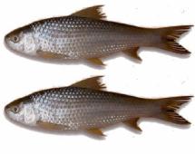 Fresh Desi BATA Fish - বাটা মাছ