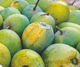 Naturally Ripen HIMSAGAR MANGO - গাছ পাকা হিমসাগর আম