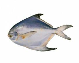 Pomfret Fish - পমফ্রেট মাছ