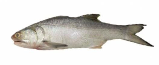 Gurjaoli Fish - গুরজাওলি