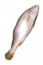 Fresh POYA BHOLA - পোয়া ভোলা