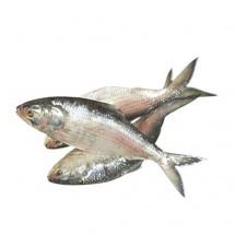 Fresh HILSA |500-600g size| - ইলিশ (রায়দিঘি )