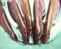 Singi Fish