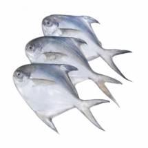 Jumbo Pomfret Fish  7 to 10 Counts  - পমফ্রেট মাছ
