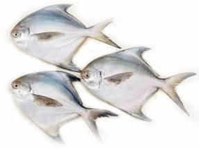 Jumbo Pomfret Fish  12 to 15 Counts  - পমফ্রেট মাছ